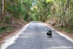 Wilder Truthahn auf dem Weg nach Calakmul