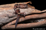 Mexikanische Krallengecko (Coleonyx elegans)