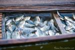 Diese Ausbeute ist eher ungewöhnlich, denn der Inle See ist leer gefischt