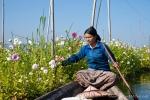 Asternanbau auf den schwimmenden Gärten des Inle Sees