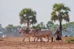 Feldarbeit ist Knochenarbeit - unterwegs in Myanmar