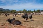 Viehmarkt nahe Taunggyi