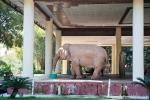 Weißer heiliger Elefant