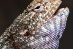 Dhofar-Agame (Pseudotrapelus dhofarensis)