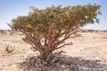 Weihrauch-Bäume