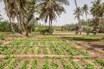 Obst- und Gemüseplantagen mitten in Salalah