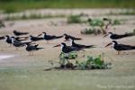 Kolonie von Schwarzmantel-Scherenschnäbeln (Rynchops niger), Black Skimmer