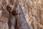 Allein kommt der Kleine nicht hoch, Riesenotter (Pteronura brasiliensis), Giant Otter