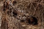 Wohlbehalten an der Haustür abgeliefert - Riesenotter (Pteronura brasiliensis), Giant Otter