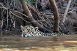 Gute Schwimmer - Jaguar (Panthera onca)