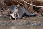 Leben von Fisch - Riesenotter (Pteronura brasiliensis), Giant Otter