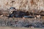 Riesenotter (Pteronura brasiliensis), Giant Otter