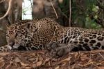 Keine Scheu vor den Touristen - Jaguar (Panthera onca)