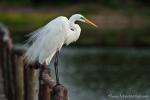 Silberreiher (Ardea alba), Great Egret