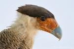 Schopfkarakara (Caracara plancus), Southern Crested Caracara