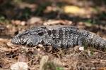 Schwarzweißer Teju (Tupinambis merianae)