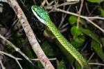 Dünnschlange, Schlanknatter (Leptophis ahaetulla), Green Parrot Snake
