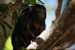 Schwarzer Brüllaffe (Alouatta caraya), Black Howler Monkey