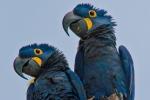 Hyazinth-Ara (anodorhynchus, hyacinthus), Hyacinthine macaws