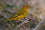 Safranammer (Sicalis flaveola), Saffron Finch