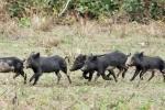Junge Wildschweine, Peccary