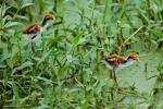 Küken des Gelbstirnblatthühnchens (Jacana jacana), Wattled Jacana