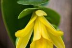 Blüte einer Vanille-Pflanze