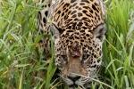 Jaguar (Panthera onca)