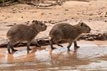 Capybaras oder auch Wasserschweine