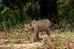 Inspiziert sein Revier - Jaguar (Panthera onca)