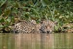 Nicht wasserscheu - Jaguar (Panthera onca)