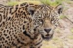 Der Räuber, der seine Beute mit einem einzigen Sprung erlegt - Jaguar (Panthera onca)