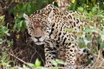 Alter Haudegen - Jaguar (Panthera onca)