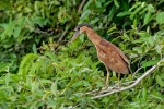 Kahnschnabel (Cochlearius cochlearius), Boat-Billed Heron