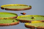 Riesenseerose (Victoria amazonica) mit Gelbstirn-Blatthühnchen (Jacana spinosa) , Giant water lilies with Wattled Jacana