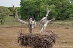 Jabiru-Nest