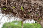 Mönchssittiche (Myiopsitta monachus) brüten im Nest der Jabirus, Monk Parakeet