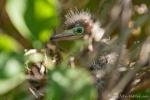 Reiherküken in seinem Nest