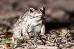 Mato Grosso Baumfrosch (Scinax acuminatus), Mato Grosso Snouted Treefrog