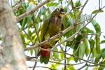 Maximilianpapagei (Pionus maximiliani), Scaly-Headed Parrot