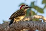 Grünbindenspecht (Chrysoptilus melanochloros), Green-Barred Woodpecker
