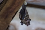Langnasenfledermaus (Dryadonycteris capixaba ), Atlantic Forest Long-nosed Bat