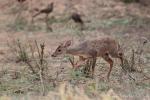 Rotmazama (Mazama americana), Red Brocket Deer