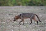 Maikong (Cerdocyon thous) auch Krabbenfuchs, crab-eating fox