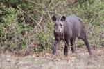 Flachlandtapir (Tapirus terrestris), Brazilian Tapir