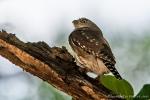 Brasil-Sperlingskauz (Glaucidium brasilianum), Ferruginous Pygmy Owl