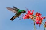 Amazilia-Kolibri - Glitzer-Amazilie (Amazilia fimbriata), Glittering-Throated Emerald