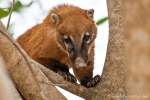 Südamerikanischer Nasenbär (Nasua nasua), South American Coati