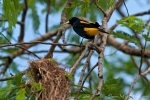 Gelbbürzelkassike oder Gelbrücken-Stirnvogel (Cacicus cela), Yellow-Rumped Cacique
