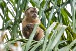 Weißstirnkapuziner (Cebus albifrons), White-fronted Capuchin Monkey